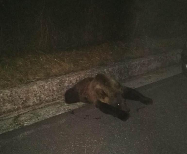 Rionero Sannitico, investita una giovane orsa sulla statale 652