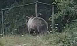 Automobilista avvista l'orso a Civitella Alfedena