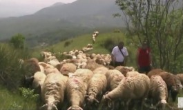 Roccamandolfi, domenica 28 maggio vivi la transumanza con Orizzonti del Matese e la Pecorella Nera