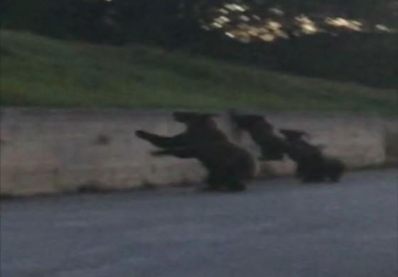 Mamma orsa e tre cuccioli a spasso tra Alto Sangro e Alto Molise (video)