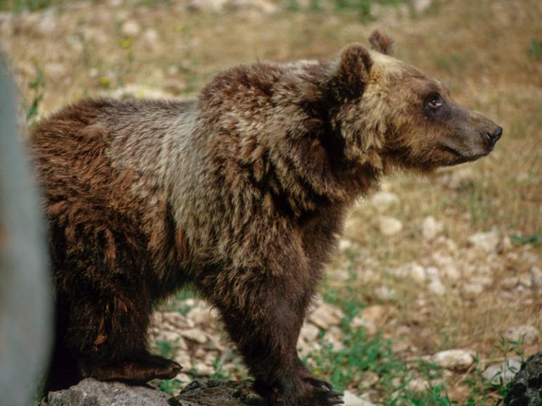 Pescasseroli, muore l'orsa Yoga: era l'icona del centro visite del Parco d'Abruzzo, Lazio e Molise
